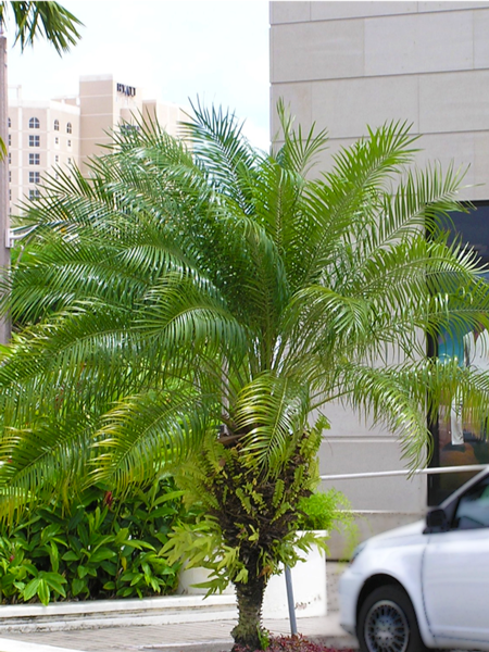 Pygmy Date Palm | Baron Services