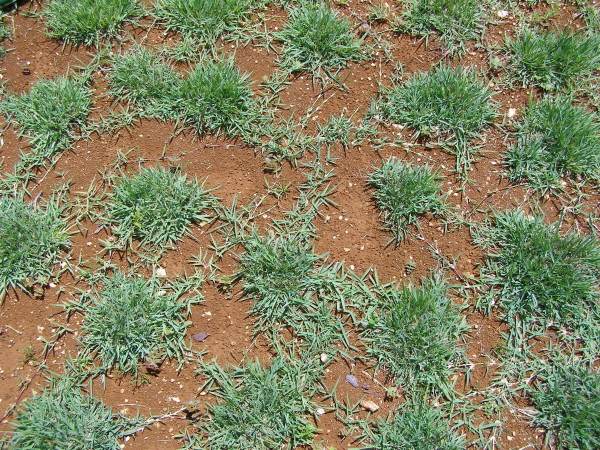 how to kill chickweed in zoysia grass